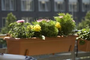 fleurs-de-balcon